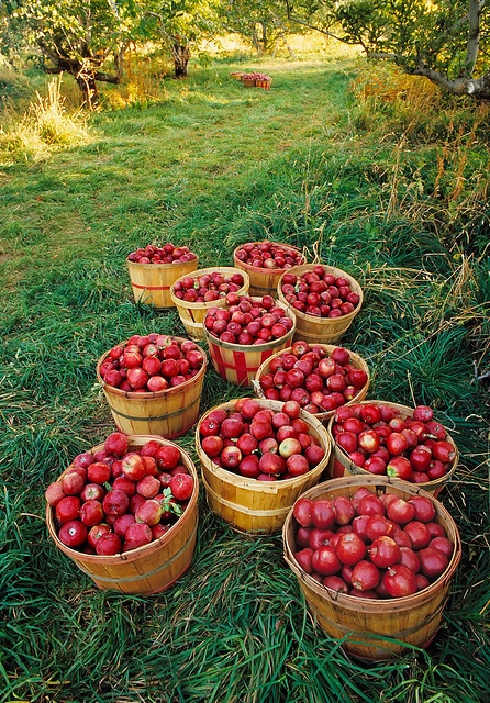 apple_orchard_baskets